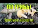 Сбор грибов 7 Лисички Белые грибы Подберёзовики Лес Жизнь в деревне