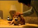 Very Funny Dog - A Shiba Inu Who Doesnt Like Satan