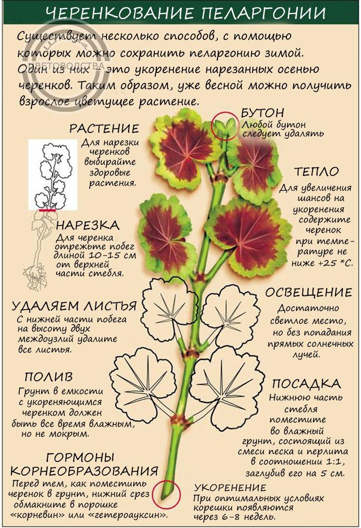 Пеларгония (Герань) - Страница 2 29erX37xWeA