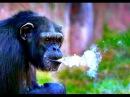 Курящая шимпанзе в зоопарке Северной Кореи (2016)