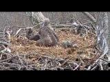 Dale Hollow Eagle Cam, DH3 Gets Revenge, 032017