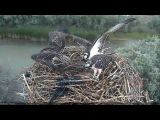 8/9/17 #3 wins out in fish free-for-all - Boulder County Osprey Cam
