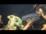 Змееголов VS Человек - Snakehead vs Human