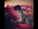 Наши последние котята мейн кун♥️♥️котята нашли свои дома🏡🏡🤗 amorecoon maine coon kittymodel