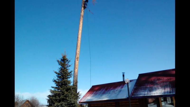 В Белаусе спилили дерево