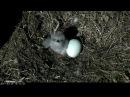 DC Eagle Cam ~ Awkward Feeding, Flies and Squees ~ 03·29·17