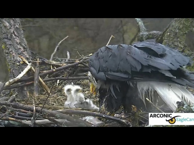 Arconic Davenport Bald Eagles 30 March 2017 Early AM Feeding
