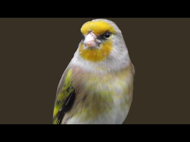 The BEST canary mule Goldfinch training song 50min