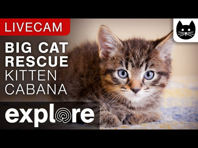 Kitten Cabana - Big Cat Rescue powered by EXPLORE.org