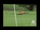 A Fox Steals A Mans Golf Ball And Has The Time Of His Life