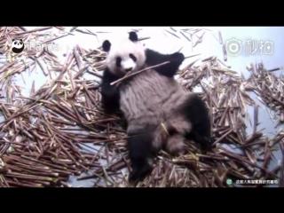 Голодные панды, я и сам проголодался