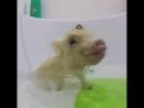 Минипиг Царь принимает ванну по царски, правда теперь он не Царь, а Локки. Сквозь крики, визги , брызги учимся купаться и нырят