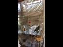 Попугай жако истерит