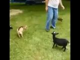 адский козел