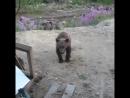 [Kavkaz vine] нападение медведицы на геологов, есть погибшие