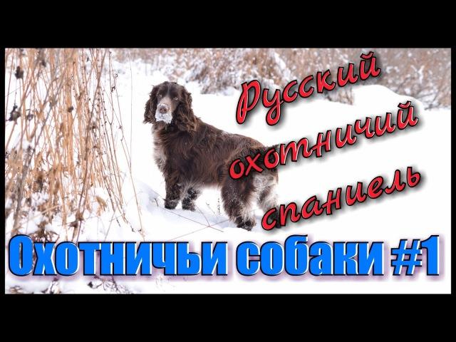 Охотничьи собаки 1. Охота с собаками. Русский охотничий спаниель. Hunting in Russia