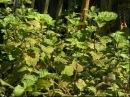 Patchouli Cultivation