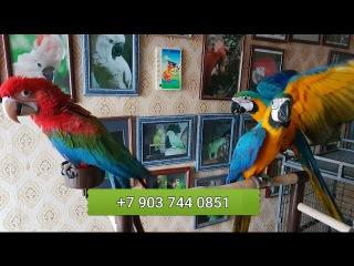 Попугаи ара - птенцы выкормыши 4 мес. из питомников Европы