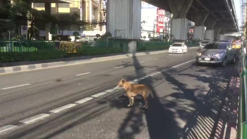 Бродячий пес учится переходить дорогу 01.02.2017 Бангкок