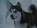 Белый плен  Eight Below В основу фильма легла реальная история, произошедшая с японской экспедицией 1958 года   Собаки (сахали