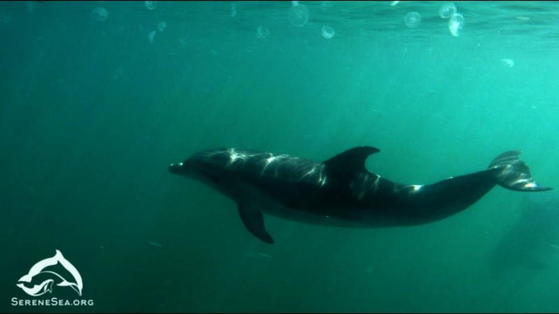 Serene Sea Sea of Voices pt 2 Bottlenose Dolphins