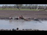 Crocodile vs zebra in selous game reserve