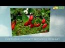 Посадка барбариса как правильно посадить барбарис