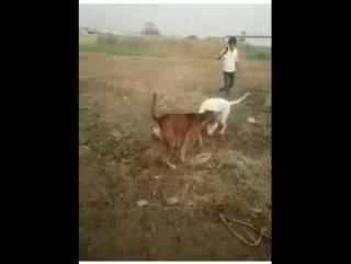 Gull terr VS pitbull mix bully kutta ч.1 (собачьи бои, пакистанский бультерьер, питбуль, булли кутта)