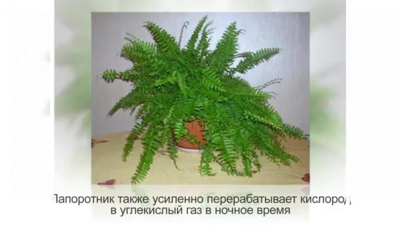 Какие комнатные растения вызывают ГОЛОВНУЮ БОЛЬ, ГОЛОВОКРУЖЕНИЕ, БЕССОННИЦУ