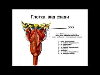 Анатомия. Введение в спланхнологию