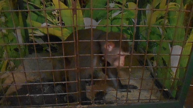 выставка обезьян в г Пскове из г Н Новгорода 12.08.17