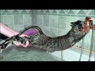 Как помыть кота и остаться в живых?