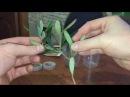 Оливковое дерево. Эксперимент как укоренить черенки.