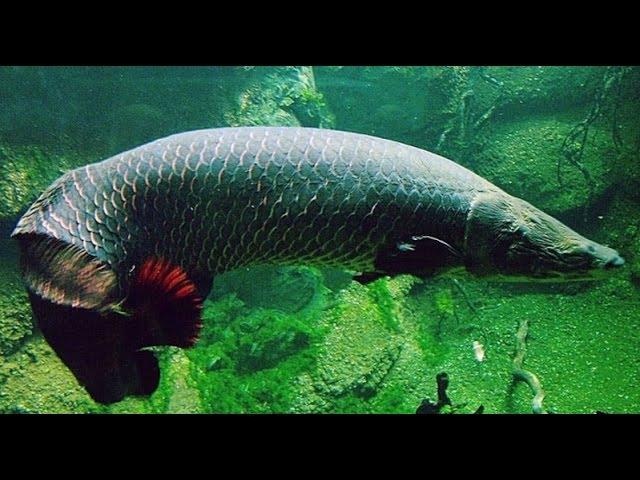 Речные монстры. Амазонка. Большие рыбы. Документальный фильм.