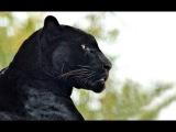 Чёрная пантера - Black Panther Энциклопедия животных