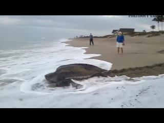 Гигантская морская черепаха размером с человека