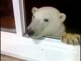 В Якутии белый медведь пришел в гости к людям. Радушно встретили, угостили печен ...