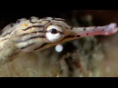 Breeding Habits Of The Banded Pipefish Blue Planet BBC Earth