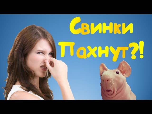 • • • Пахнут ли свинки или откуда неприятный запах • • •