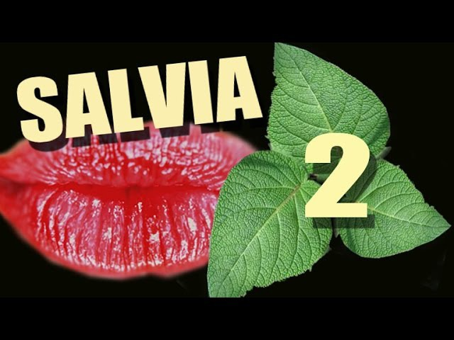 2. Сальвия. Salvia Divinorum. Шалфе́й предсказа́телей.