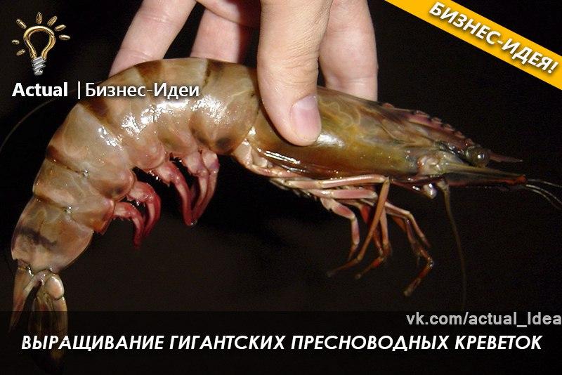 Выращивание креветки в краснодарском крае 74