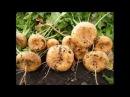 Как я выращиваю репу