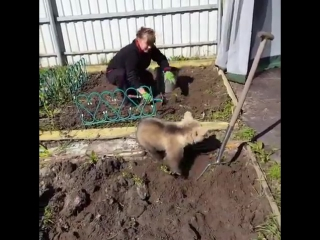 Медведь помогает по огороду