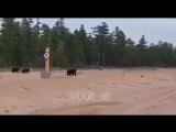 Семья медведей на прогулке