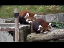 Самые милые животные, красная панда
