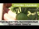 Голова садовая - Как вырастить высокорослые грунтовые томаты