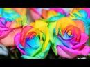 Самые редкие и дорогие розы в мире