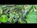 Правильное Пасынкование Огурцов для Увеличения Урожая