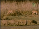 BBC Natural World 2000 - The Tigers' Fortress PDTV (XviD)