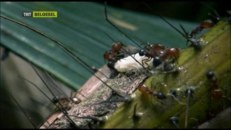 TRT Belgesel - Karıncalar Doğa'nın Gizli Gücü